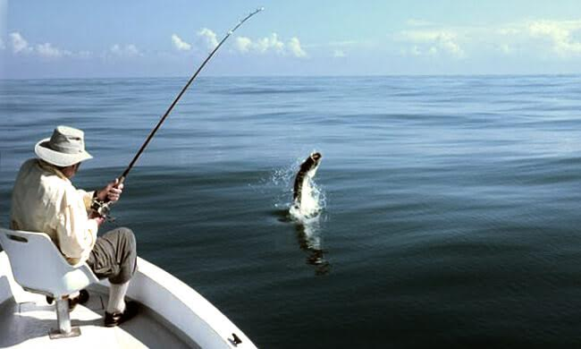 Tarpon jumping right out of the water.