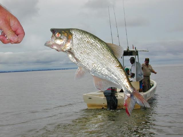 Fishing for Machaca is an enjoyable experience, watching their bright silver bodies jump out of the water.