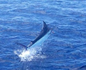 Spend the day or a half day marlin fishing in Costa Rica