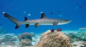 Fishing for White tip reef sharks in Costa Rica