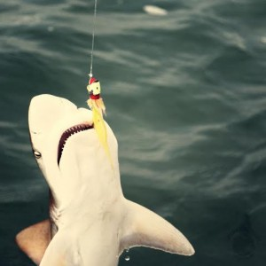 Bull sharks may be caught, while sport fishing.