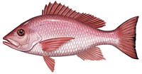 Catch red snapper while visiting Costa Rica.