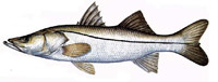 Snook can be caught on the caribbean coast of costa rica as well as tarpon.