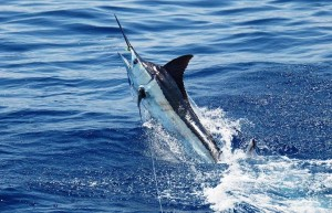 Sport fishing for Marlin is every anglers dream in Costa Rica