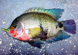 While fishing for Mojarra it is best to use bait, but lures are also an option.